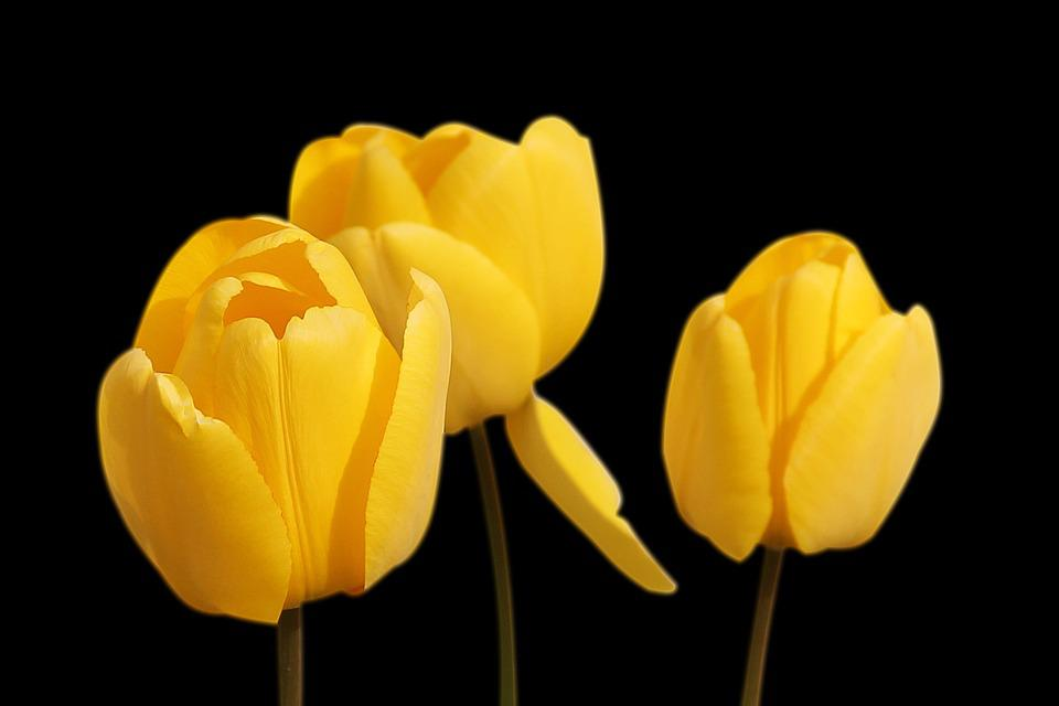 Tulips yellow flowers free photo on pixabay tulips yellow flowers spring mightylinksfo