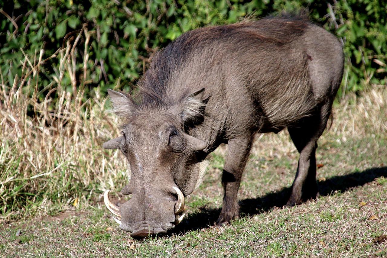 картинки свинья с рогами стоит использовать