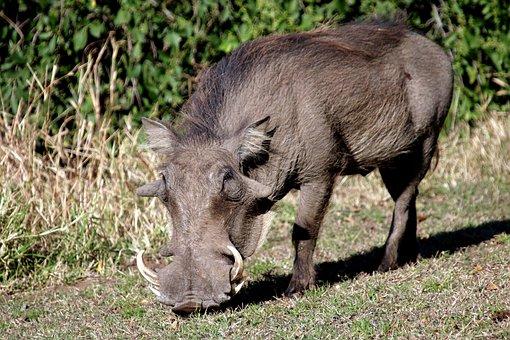 Warthog Pig Wildpig Wildboar Boar Africa W
