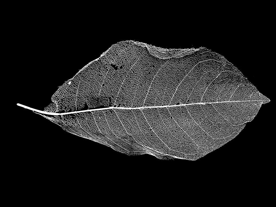 Leaf skeleton black and white dead dried framework