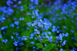 Forget Me Not, Flower