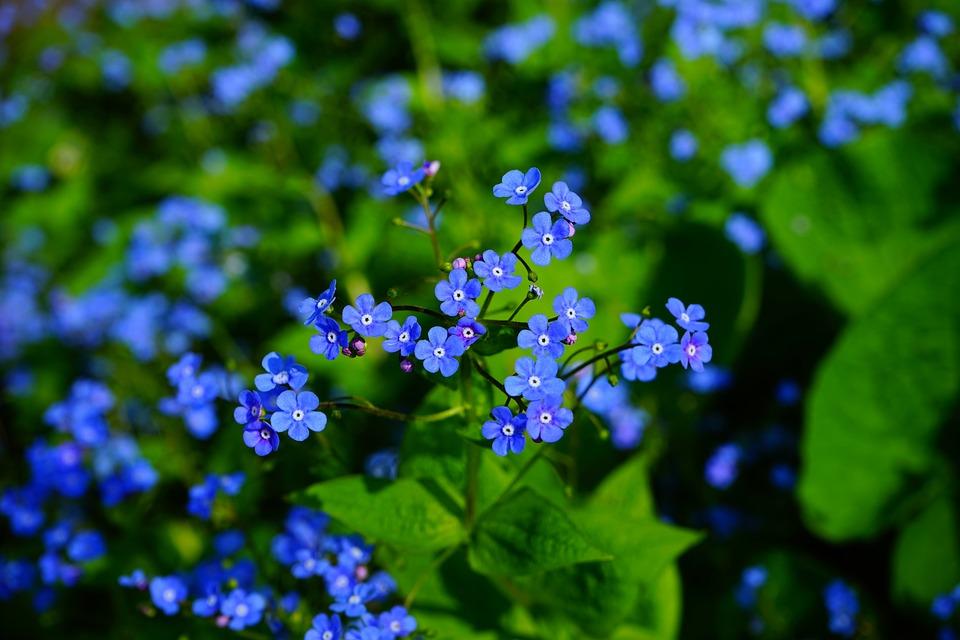 【色別】勿忘草の花言葉の意味と由来 青/白/紫