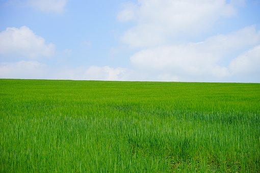 Wheat Field, Cornfield, Wheat