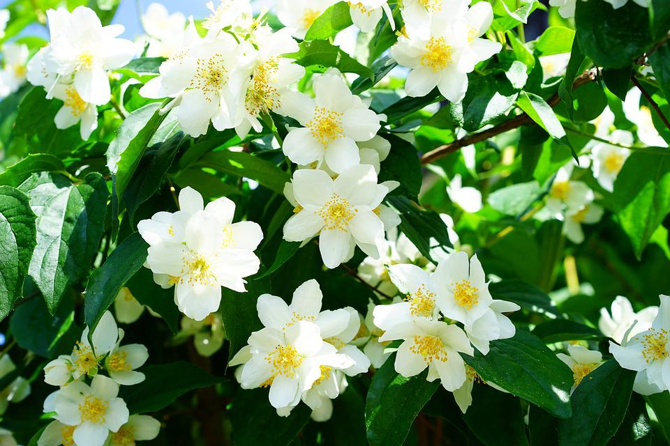 Mock Orange, Jasmin, Flowers, White
