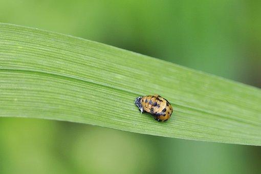 Ladybug, Doll, Asian, Leaf