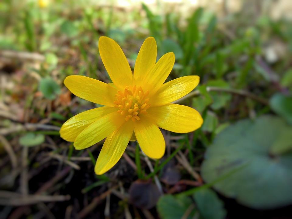 gul blomma vår