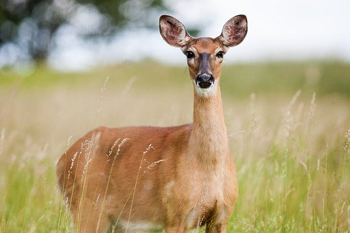 Roe Deer, Capreolus Capreolus, Animal