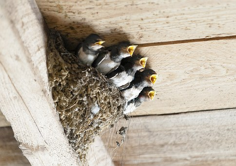Swallows, Bird'S Nest, Animal, Bird