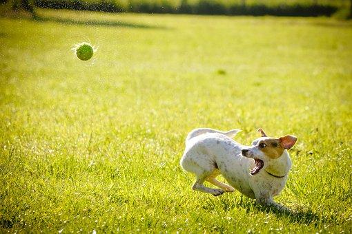 Hond, Actie, Jacht, Bal, Hond, Hond