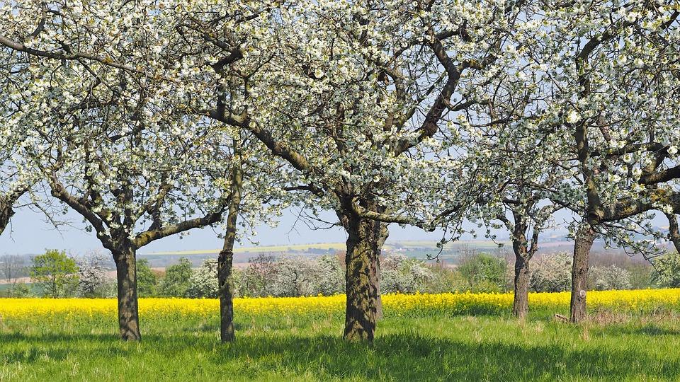 W superbly Kwiat Wiśni Pole Rzepaku Krajobraz - Darmowe zdjęcie na Pixabay MC65