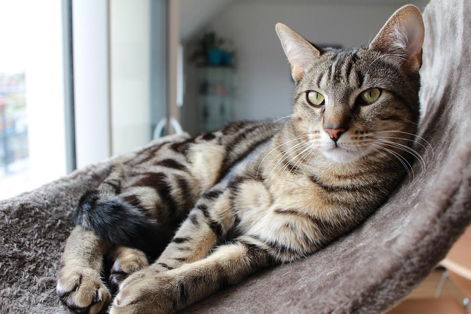 Kat, Cyperse Kat, Binnenkat, Jonge Kat, Kitten, Huiskat