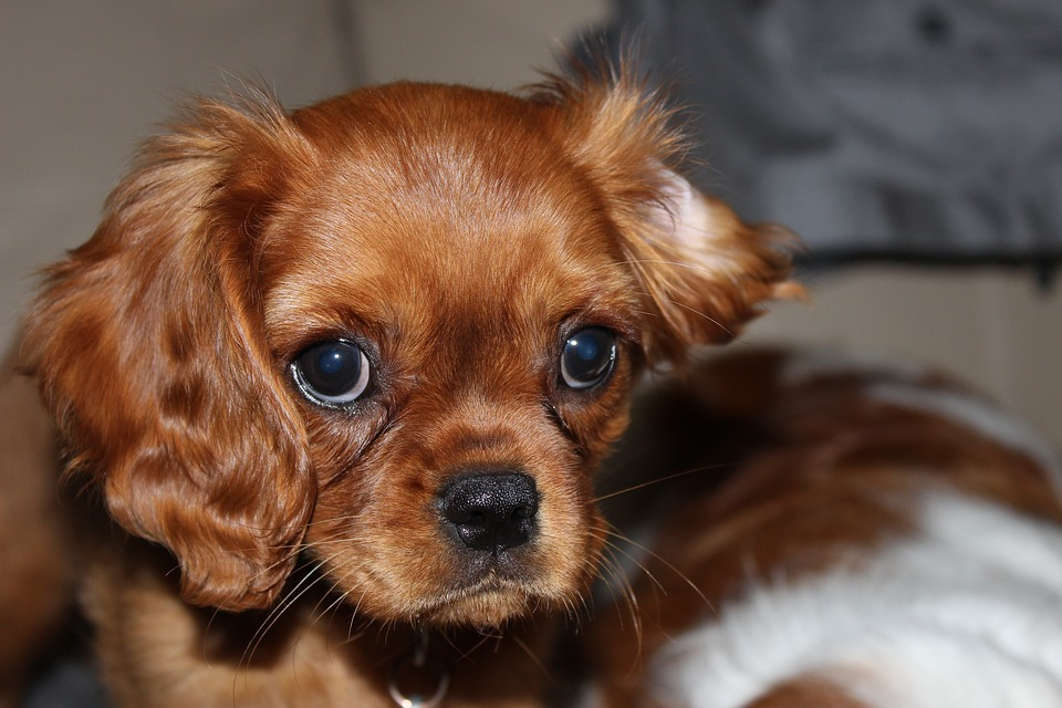 Amazing Cavalier Brown Adorable Dog - king-1368501_960_720  You Should Have_93989  .jpg