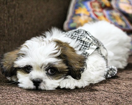 Dog, Noddy, Lhasa Apso, Pet, Puppy, Cute