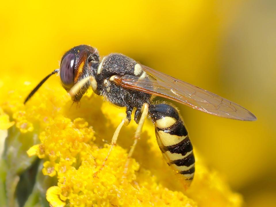 Пчелиный Волк, Насекомое, Оса, Дикая Пчела, Закрывать
