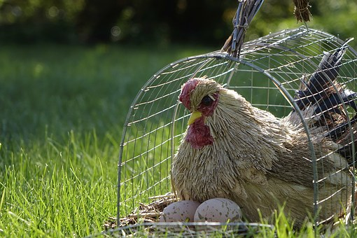Chicken, Cage, Grass, Egg, Sun, Nature