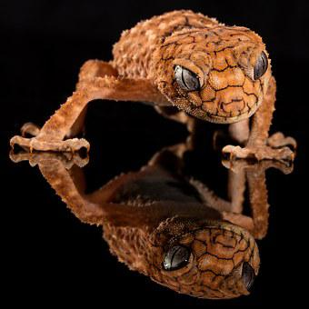 Gecko, Rough Knob, Lizard, Australia