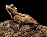 dragon, lizard