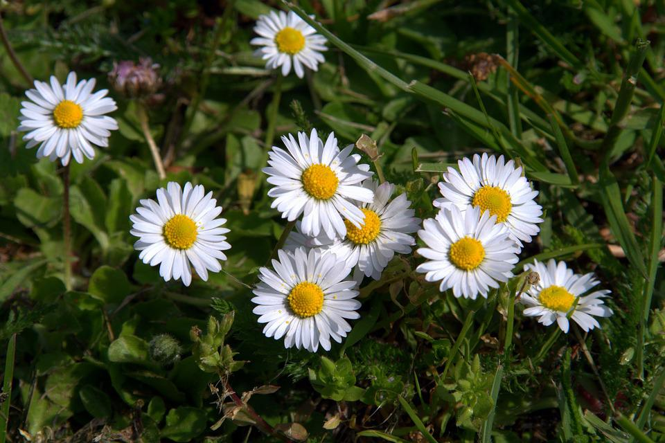 free photo daisies, flowers, small flowers  free image on, Beautiful flower