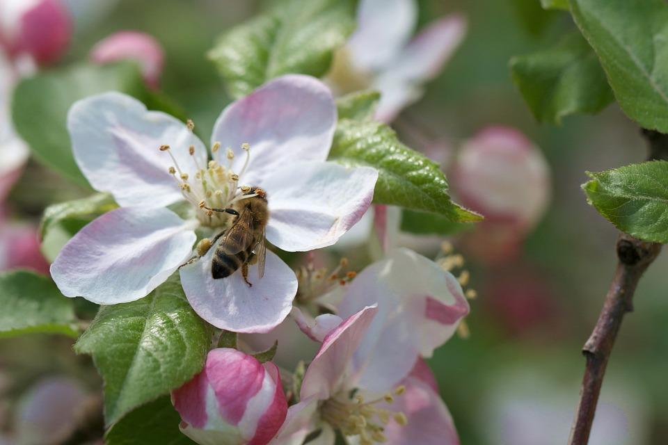 Resultado de imagen para polinizacion de la manzana