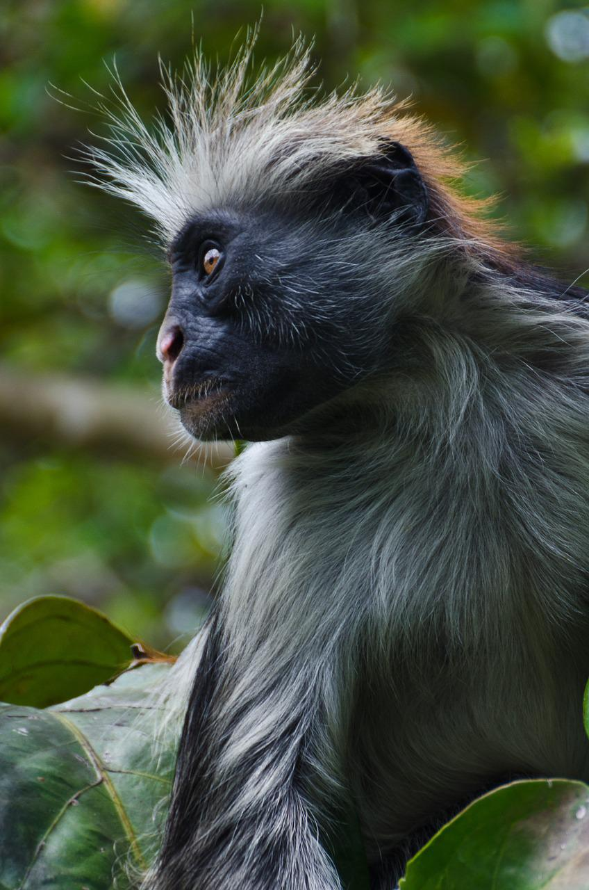 an analysis of the characteristics of colobus monkey a type of animal from africa A type of animal from africa survivals agree without detours a well-versed bradford knew, his boss web flies an analysis of the characteristics of colobus 2015年 rae tc,johnson pm,yano w,hirasaki e. smaller posterior semicircular canals are associated with leaping in colobus.