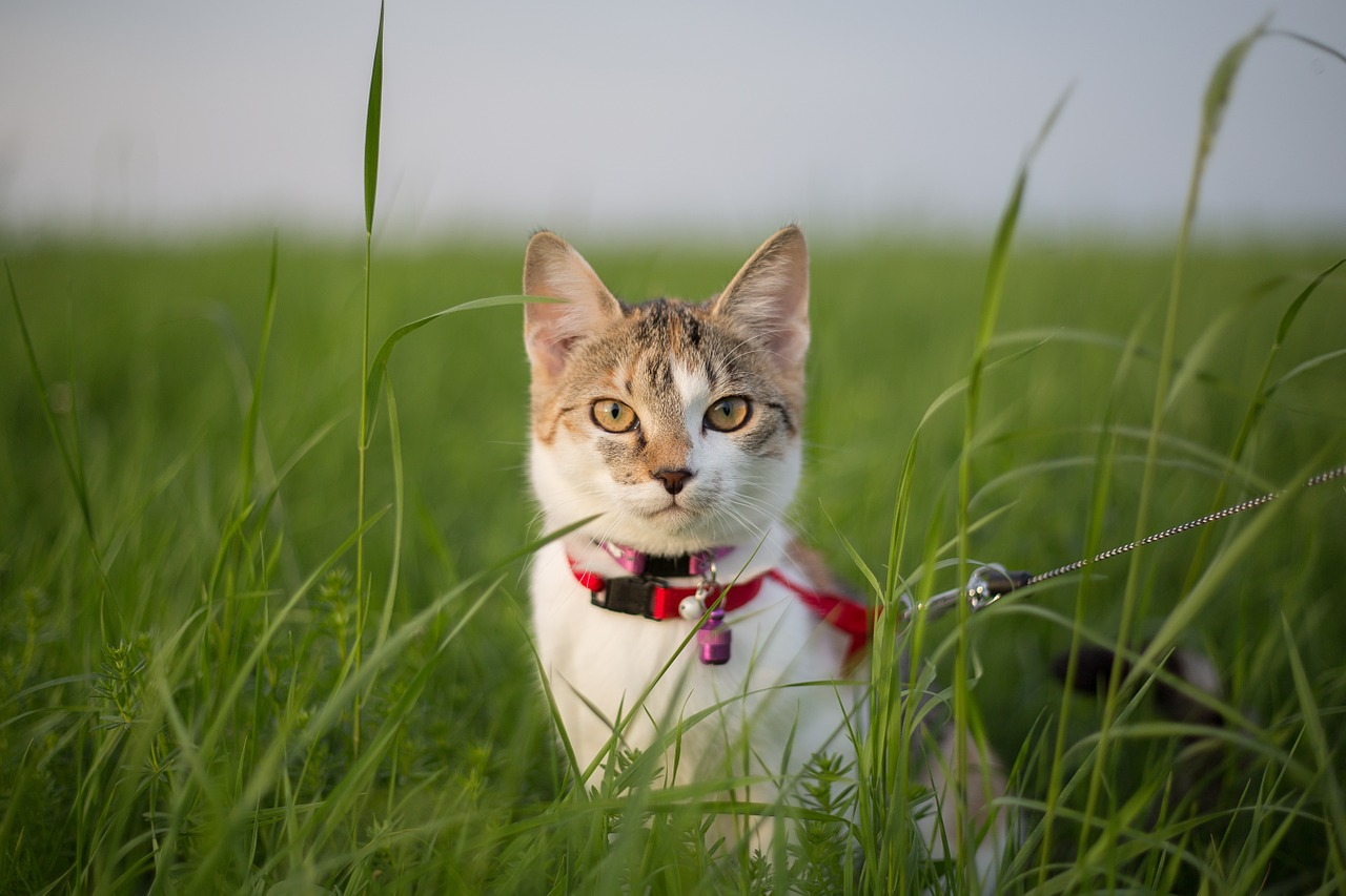 How to train a kitten to walk on a leash