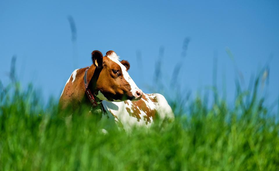 Krowa, Zwierząt, Brązowy Biały, Pastwisko, Sun