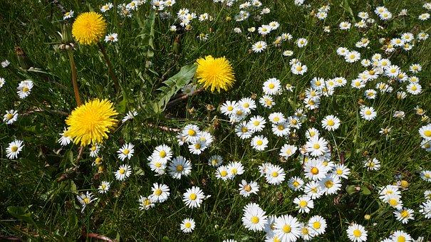 Gänseblümchen, Löwenzahn, Frühling