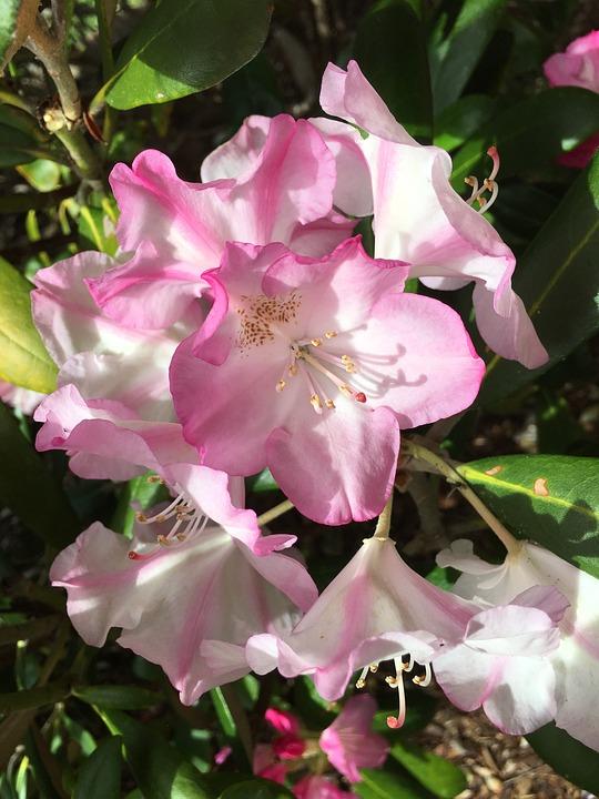 photo gratuite: azalée, fleur rose, fleur blanche - image gratuite