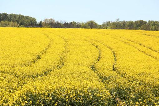Field Of Rapeseeds, In Bloom, Yellow