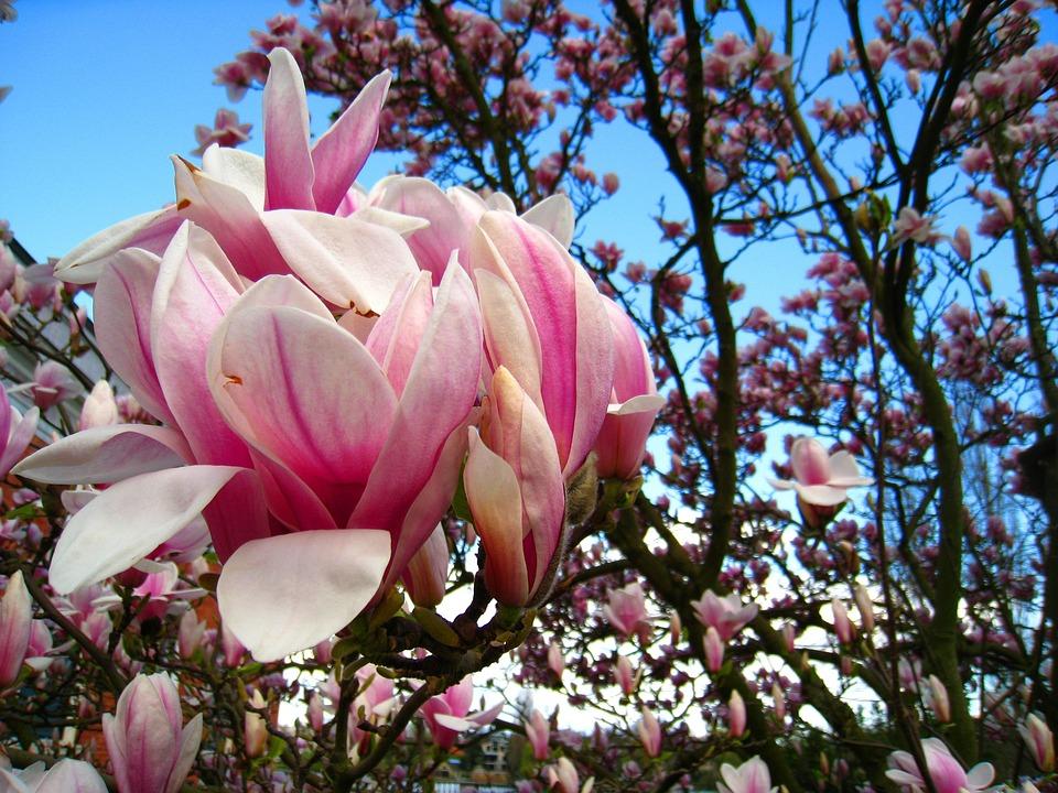 Magnolia tree pink flower free photo on pixabay magnolia magnolia tree pink flower magnolia leaves mightylinksfo