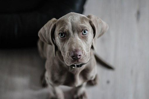 Weimaraner, Puppy, Dog, Snout