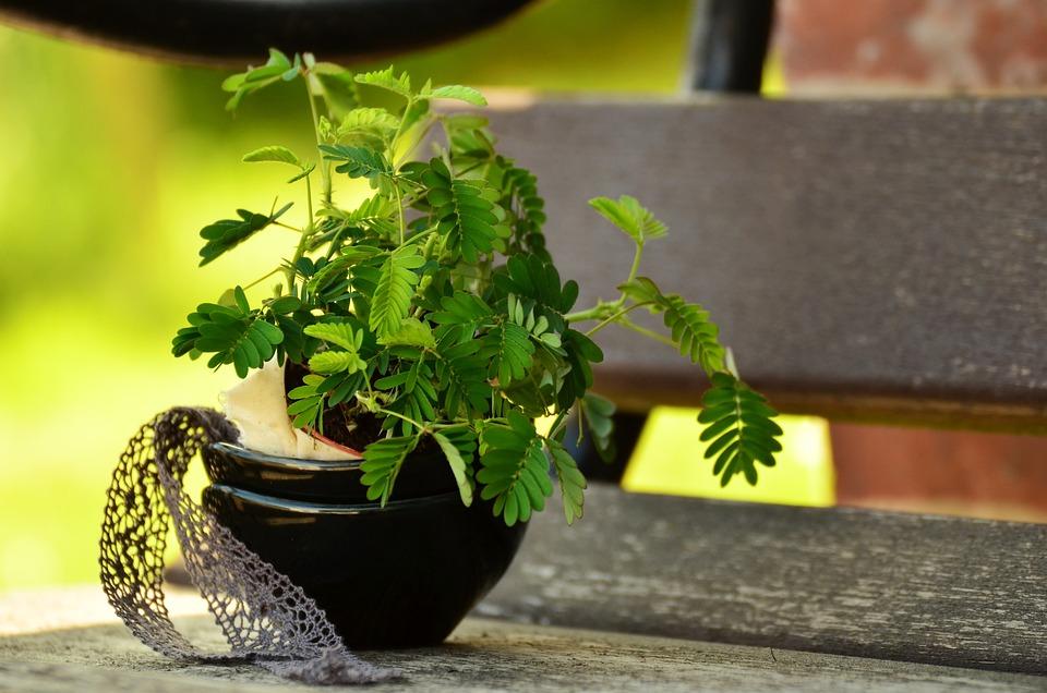 Mimosa, Anlegg, Anlegget, Mimosa Pudica, Unge Planter
