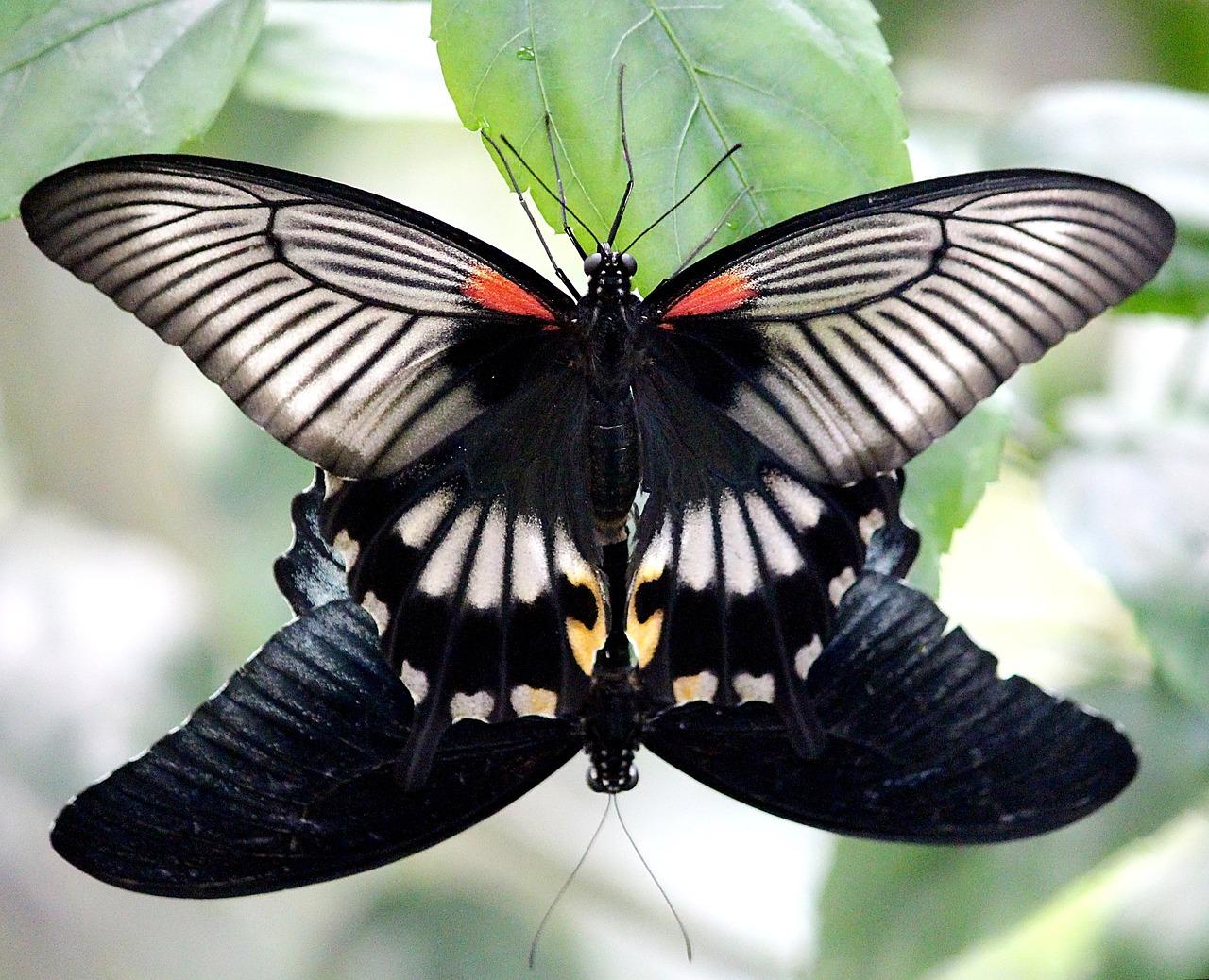 已知蝴蝶的性别决定为ZW型,有一种极为罕见的阴阳蝶... -组卷网