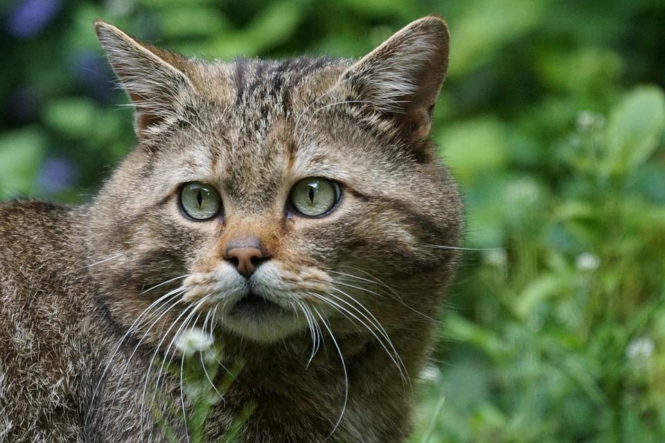 Foto gratis gatto selvatico immagine gratis su pixabay for Gatto della foresta norvegese