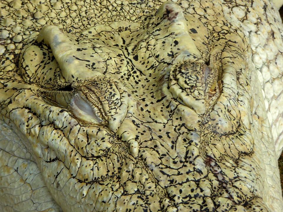 albino krokodille