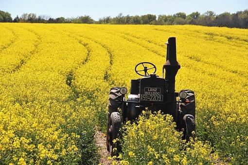 Field Of Rapeseeds, Tractors