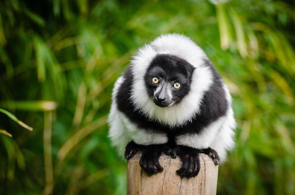 Lemurowate, Madagaskar, Prymas, Zabawna, Ciekawy