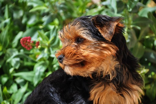 Yorkshire, Dog, Domestic Animal, Animal