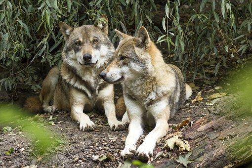 Loup Canis Lupus Loup Européen Prédateur P