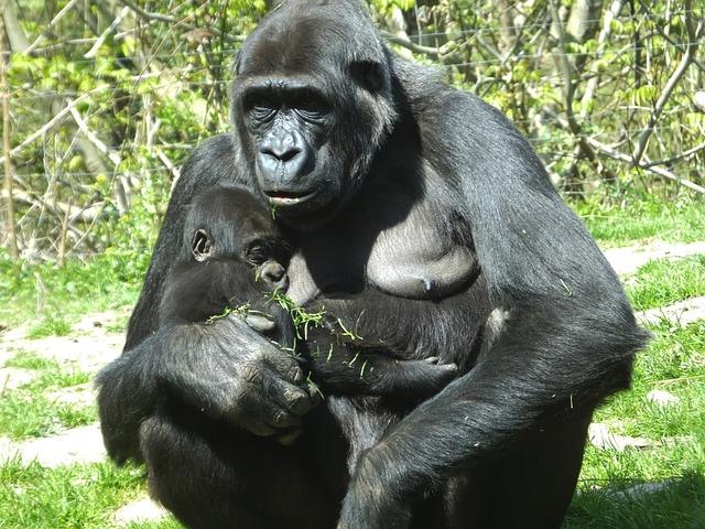 Gorilla Ape Monkey 183 Free Photo On Pixabay