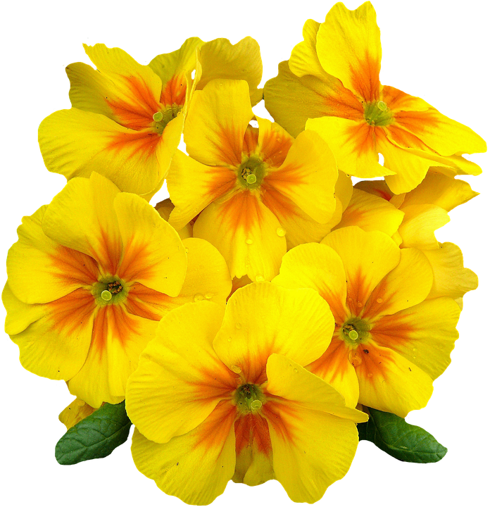 Primroses spring flowers free photo on pixabay primroses spring flowers plant primrose yellow mightylinksfo