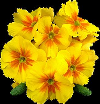 Primrose images pixabay download free pictures primroses spring flowers plant primrose ye mightylinksfo