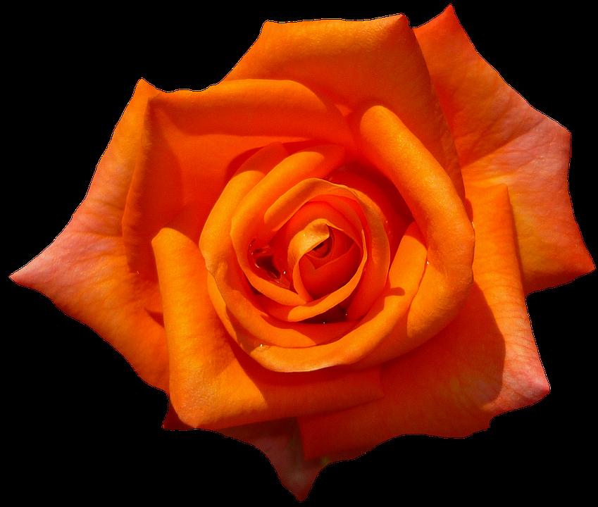 1000 Kostenlose Orange Rose Und Rose Bilder Pixabay