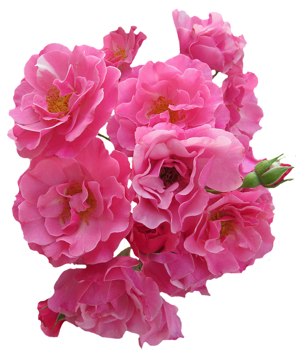 Roses pink flowers garden free photo on pixabay roses pink flowers garden roses nature pink rose mightylinksfo Image collections