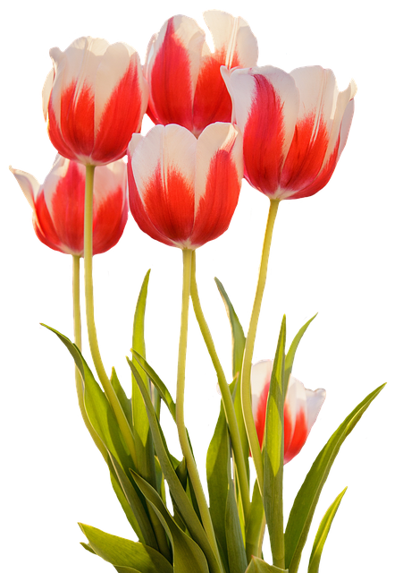 Free Photo Tulips Red Spring Flower Free Image On
