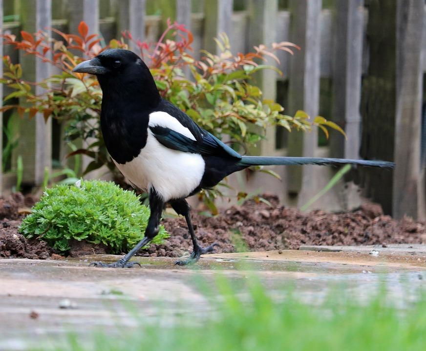 Biela dievča veľké čierne vtáky