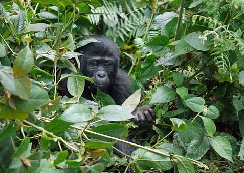 Gorila, Baby, Horská Gorila, Opice