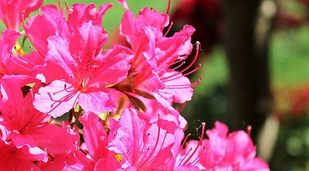 ツツジ, シャクナゲ, 花, ピンクの花, 植物, 庭, ブッシュ, スプリング