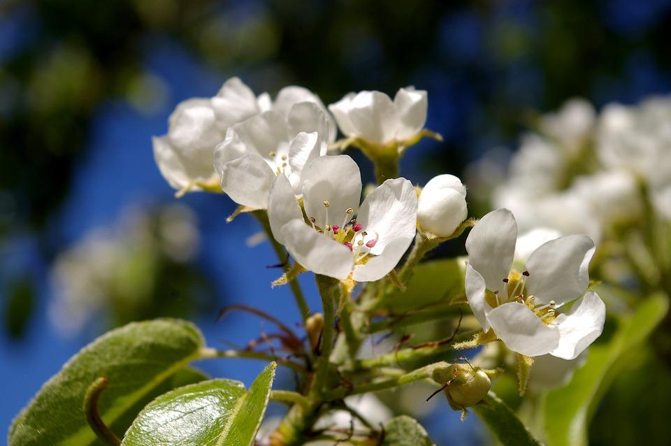 Spring petals tree free photo on pixabay spring petals tree flowers pear tree white flowers mightylinksfo