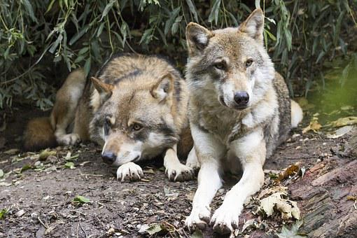 Wolves, Canis Lupus, Two Wolves